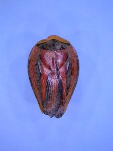 ゴキブリの一種2