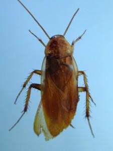 チュウトウゴキブリ2