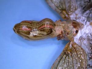ユカタンビワハゴロモの頭部