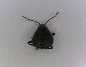 キマダラカメムシ幼虫