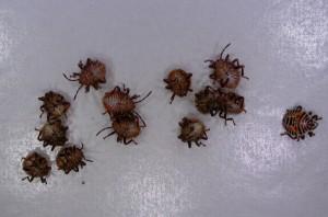 クサギカメムシ幼虫